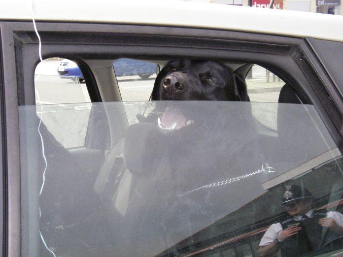 dogs trapped in hot cars risk heatstroke
