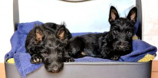 scottish terrier pups