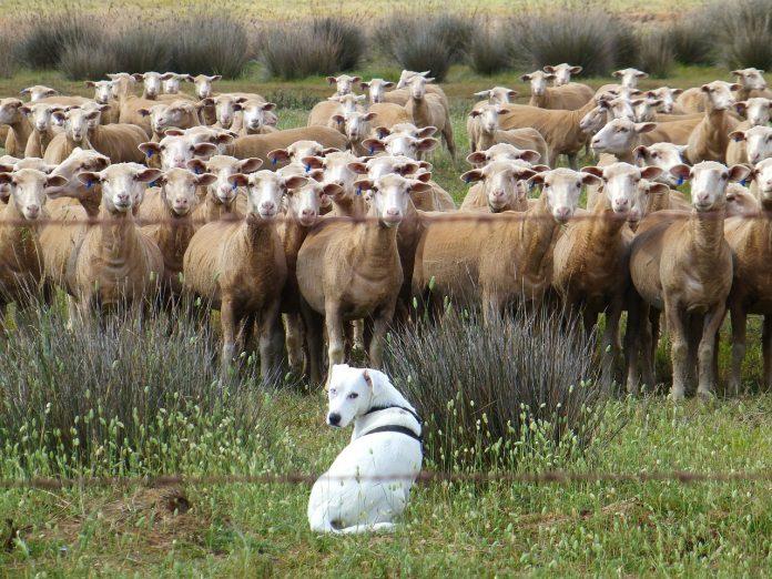 dog with livestock
