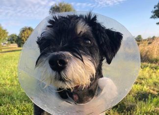 Wilf suffered a likely adder bite