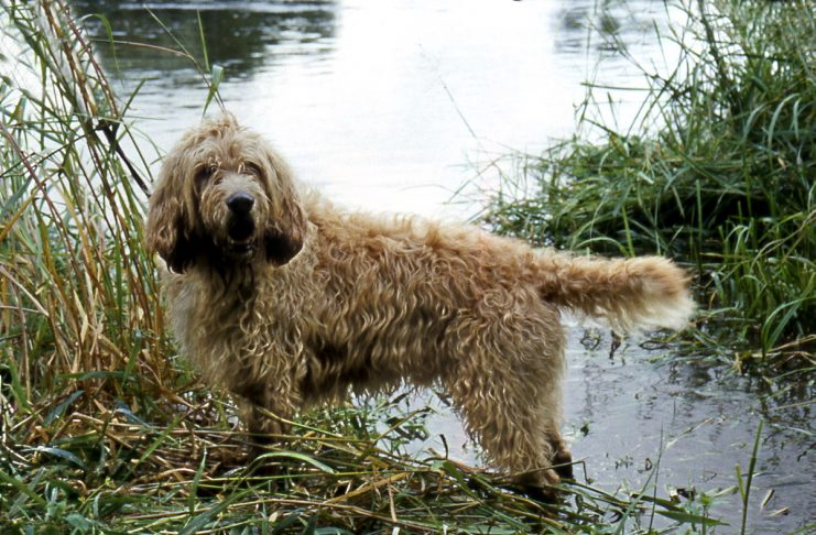 Otterhounds are the most vulnerable British breed