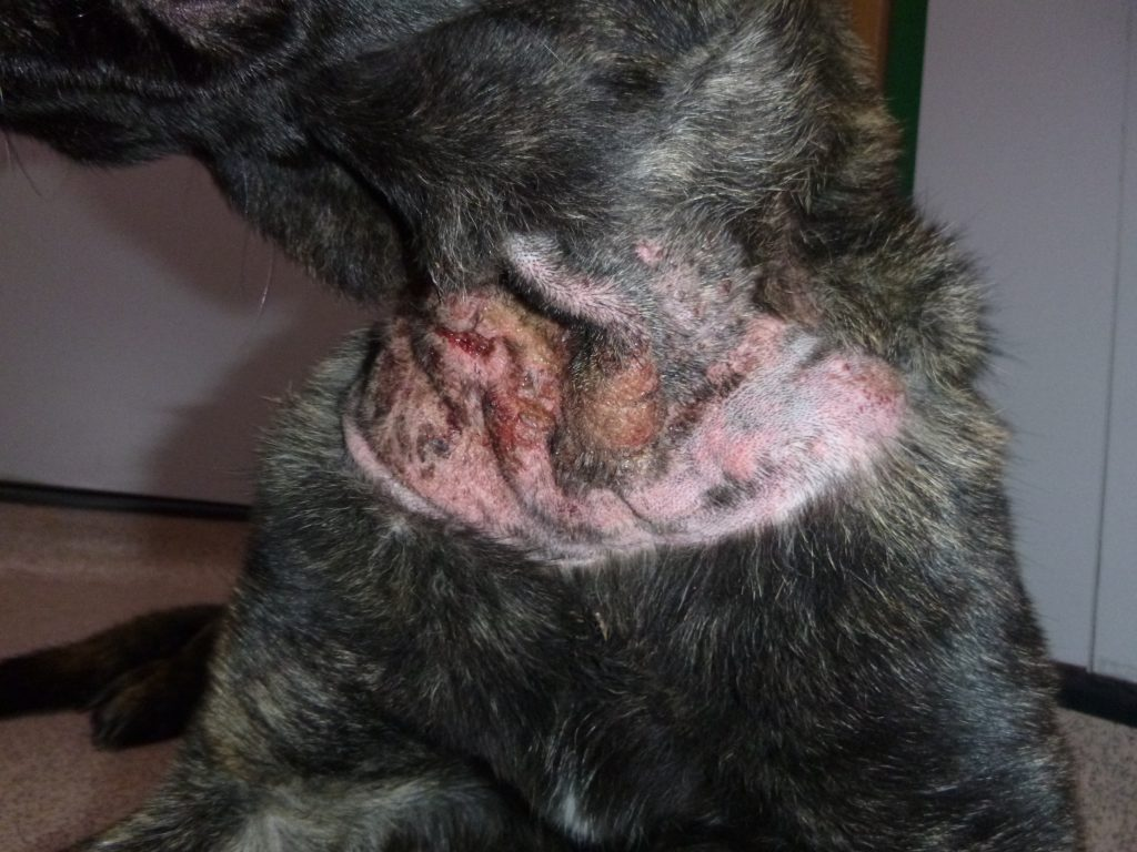 Wounds caused by the shock collar