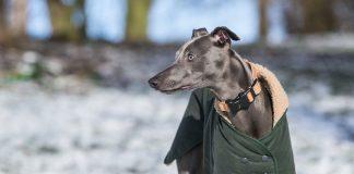Whippet in winter coat