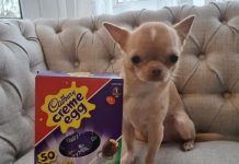 Bailey from Chatham needed urgent life-saving treatment from PDSA vets after gorging on a Easter egg