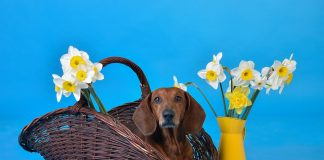 Daffodils are a firm Mother's Day favourite