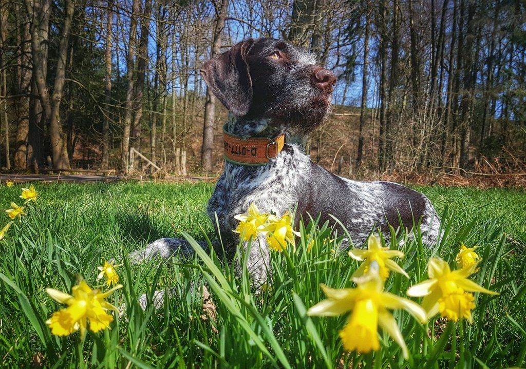 Daffodils are a mother's day favourite