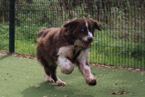Older collie cross with blue eyes running