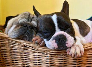 flat-faced dogs asleep in basket