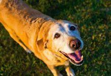 Old grey-faced Labrador dog